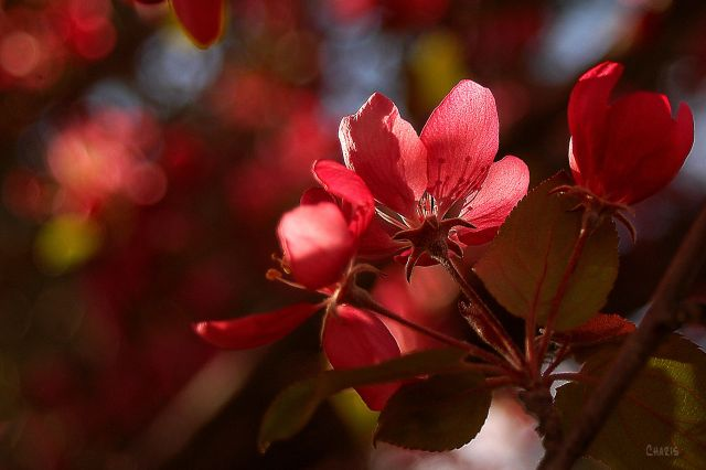 DSC_0015 plum flower backlit 2