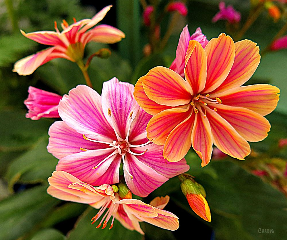 IMG_2217 hot house flowers colour nursey