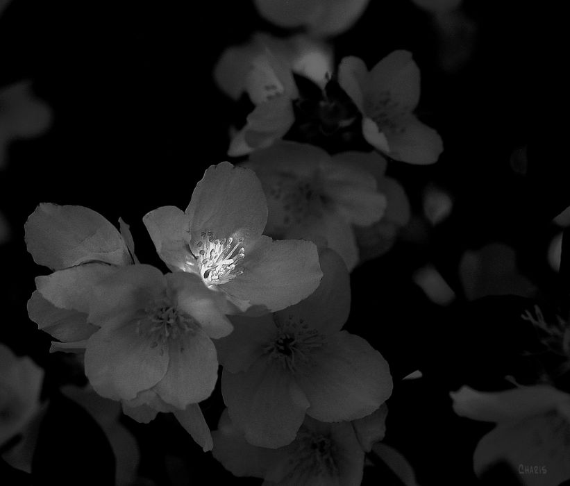 DSC_0024 mock orange sunlight ch