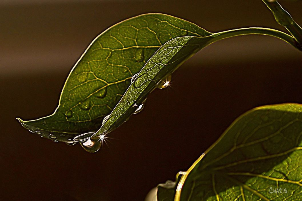 DSC_0026 leaf rain drop_edited-2