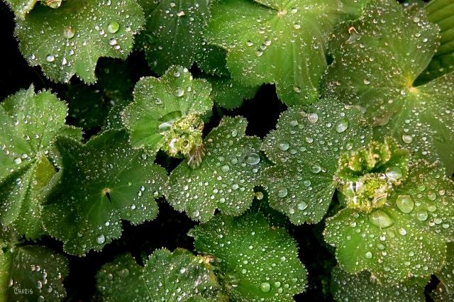 IMG_3004 leaves rain drops shower ch