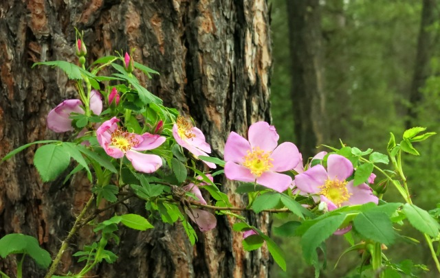 IMG_3041 wild roses woods
