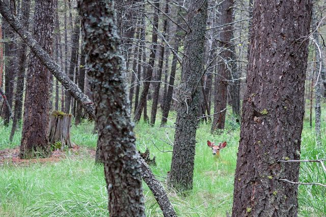 IMG_3062 deer