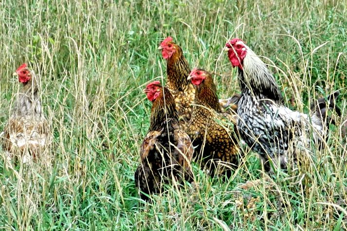chickens IMG_5654