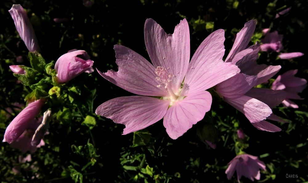 lavatera flower IMG_4400