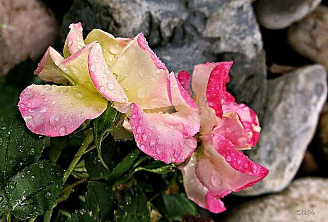 pink yellow rose rain drops IMG_4980