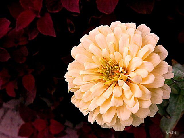 KELOWNA FLOWERS 2 WHITE ZINNIA IMG_5227