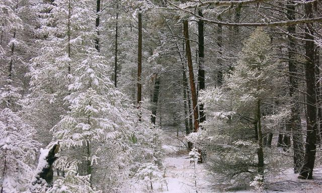snow forest IMG_9241