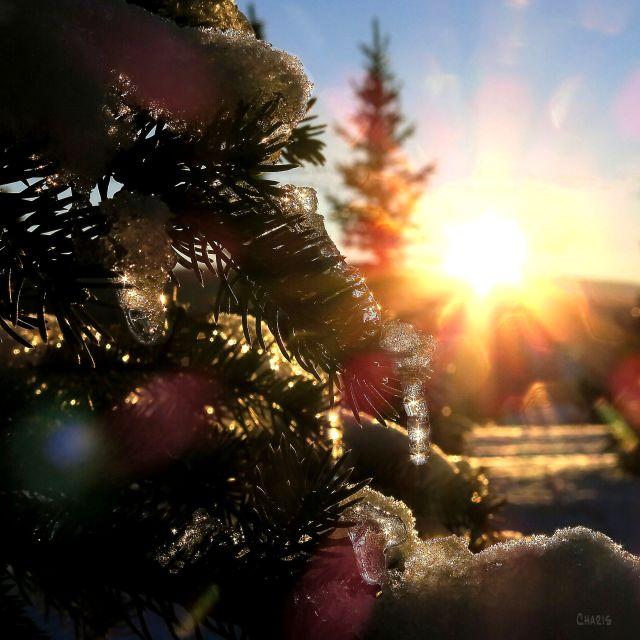 sun icicles tree ch IMG_9387