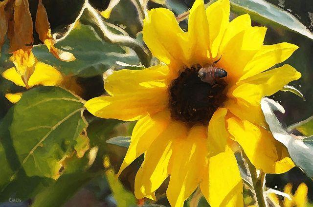 sunflower bee  ch.jpg