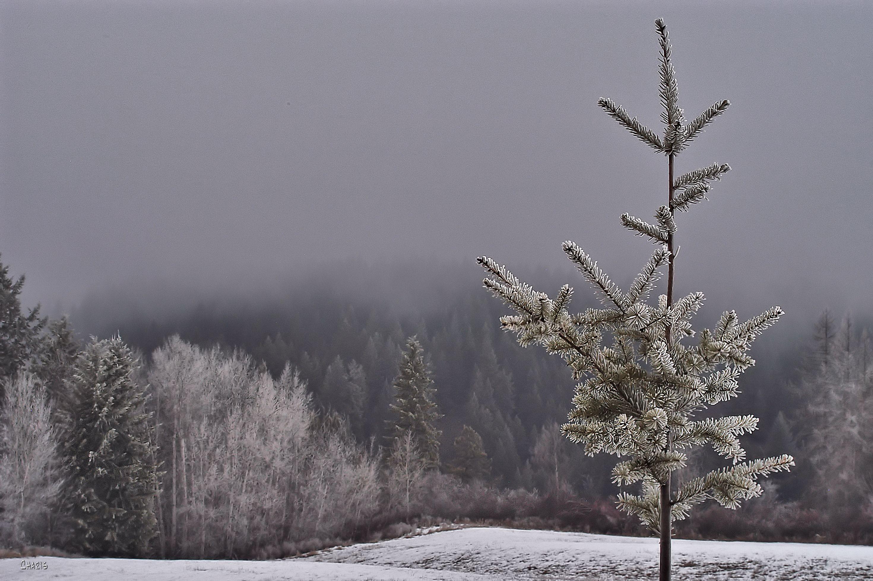 frosty sapling creston forest DSC_0251