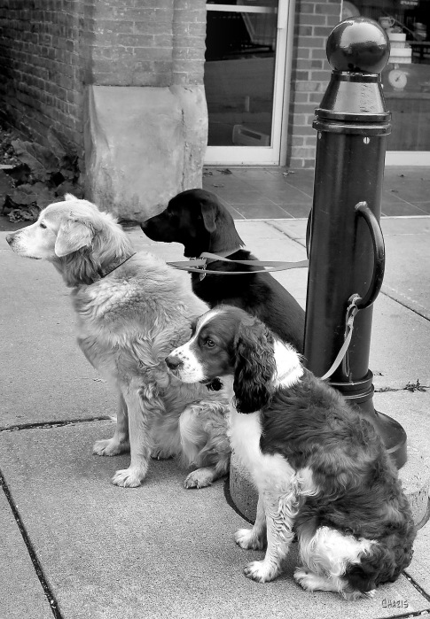 3 dogs bw ch  IMG_6602_edited-1