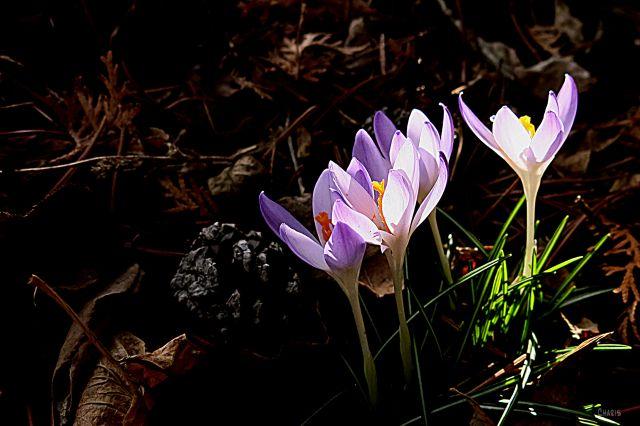 crocus garden ch horizontal IMG_0715