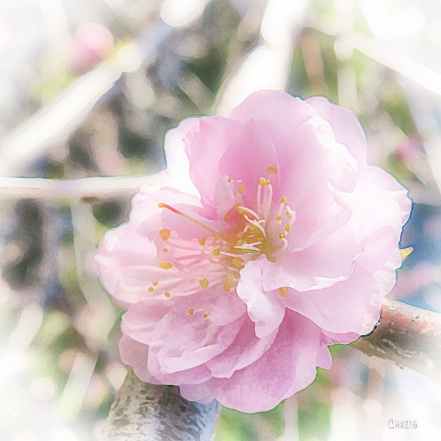 pink blossom db  ch IMG_1172