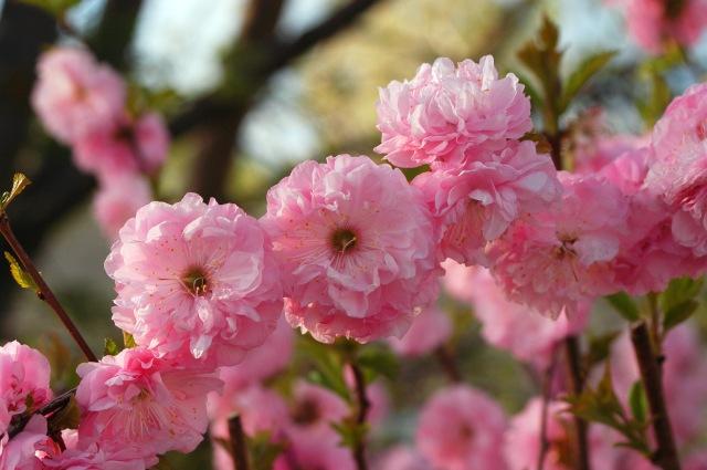 pink flowers DSC_0012