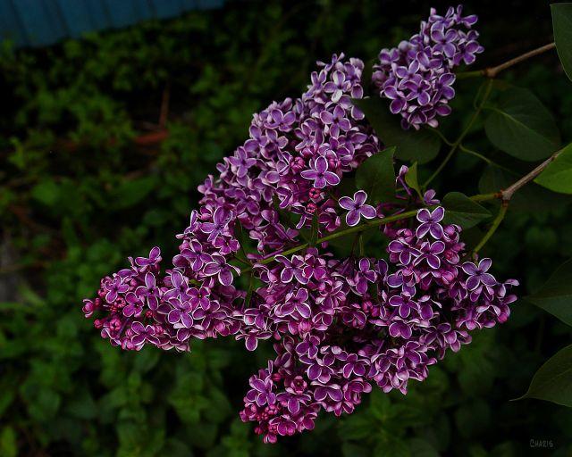 lilac purple cros  ch DSC_0098
