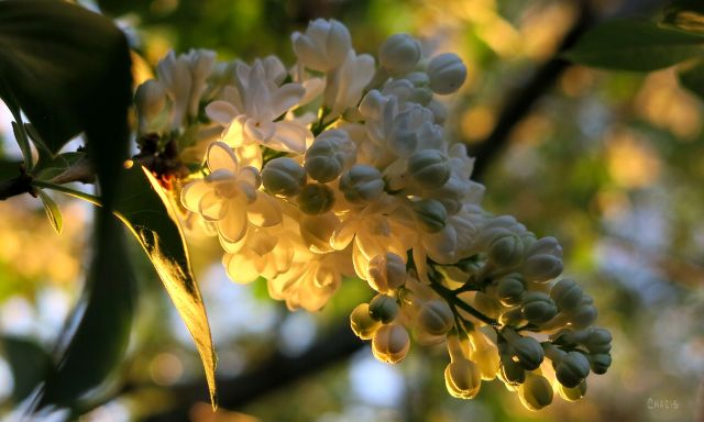 white lilac ch IMG_1770