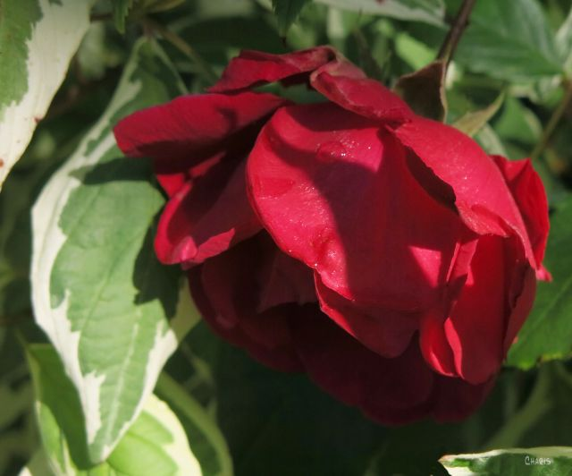 red rose ch IMG_2254