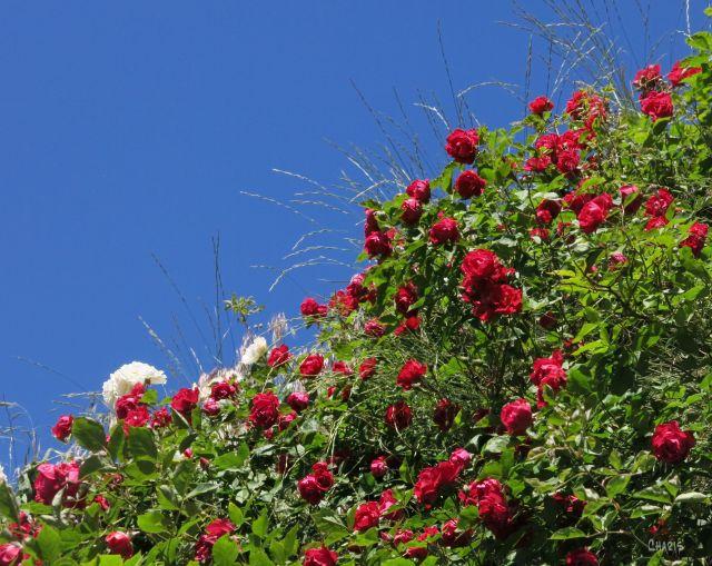 red roses diagonal ch IMG_2252