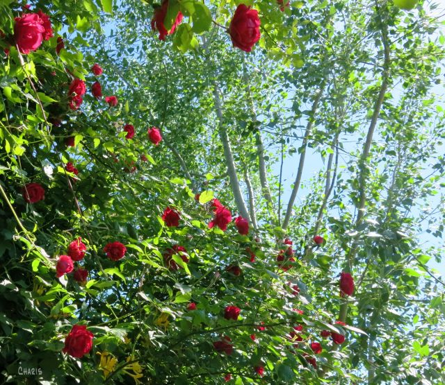 roses and tree ch IMG_2283 (2)