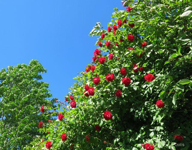 roses IMG_2295 (2)
