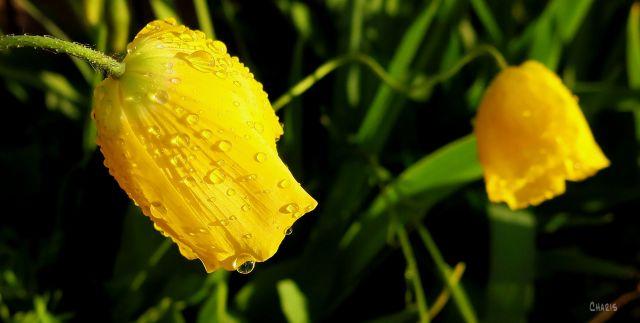 yellow poppy rain ch IMG_2599