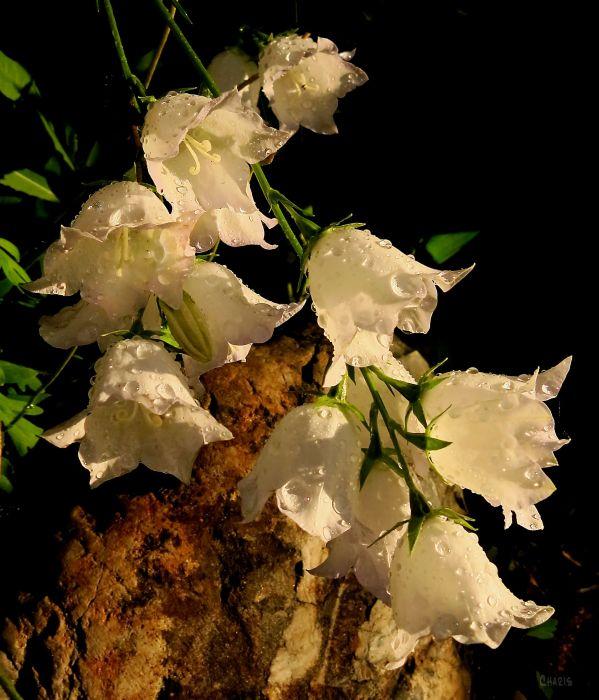 bell flowers rain ch IMG_2565