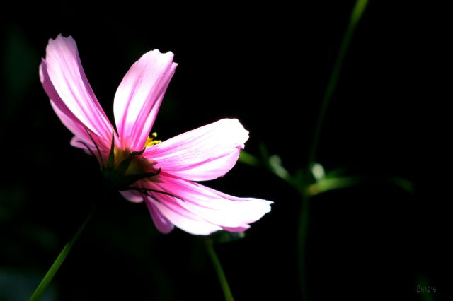 IMG_2454 cosmos