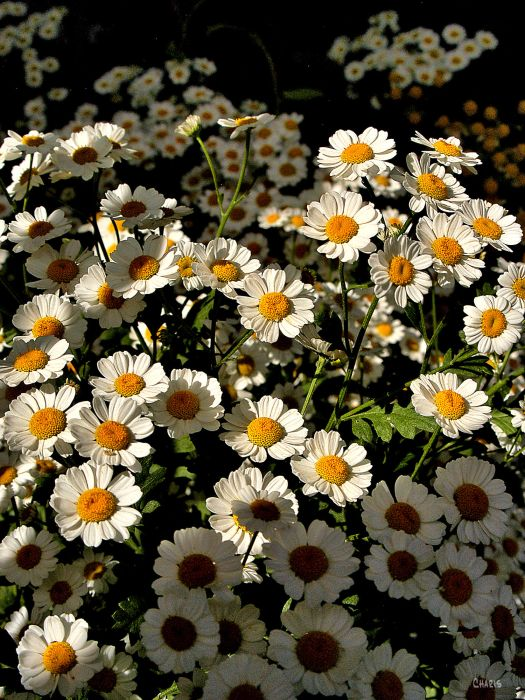 feverfew white yello contrast ch rs DSC_0114