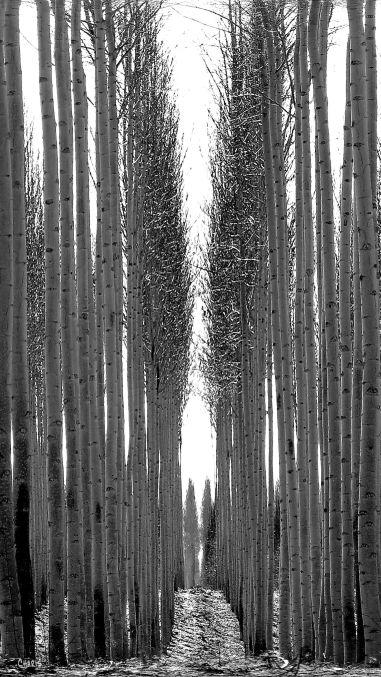 kennewick-trees-vertical-bw-img_1309