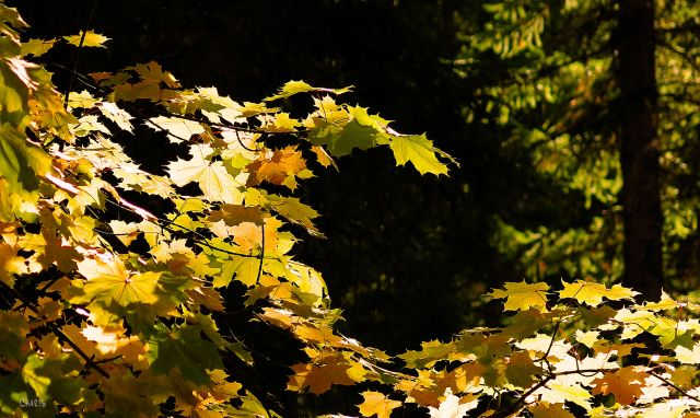 maple-tree-woods-autumn-img_4292
