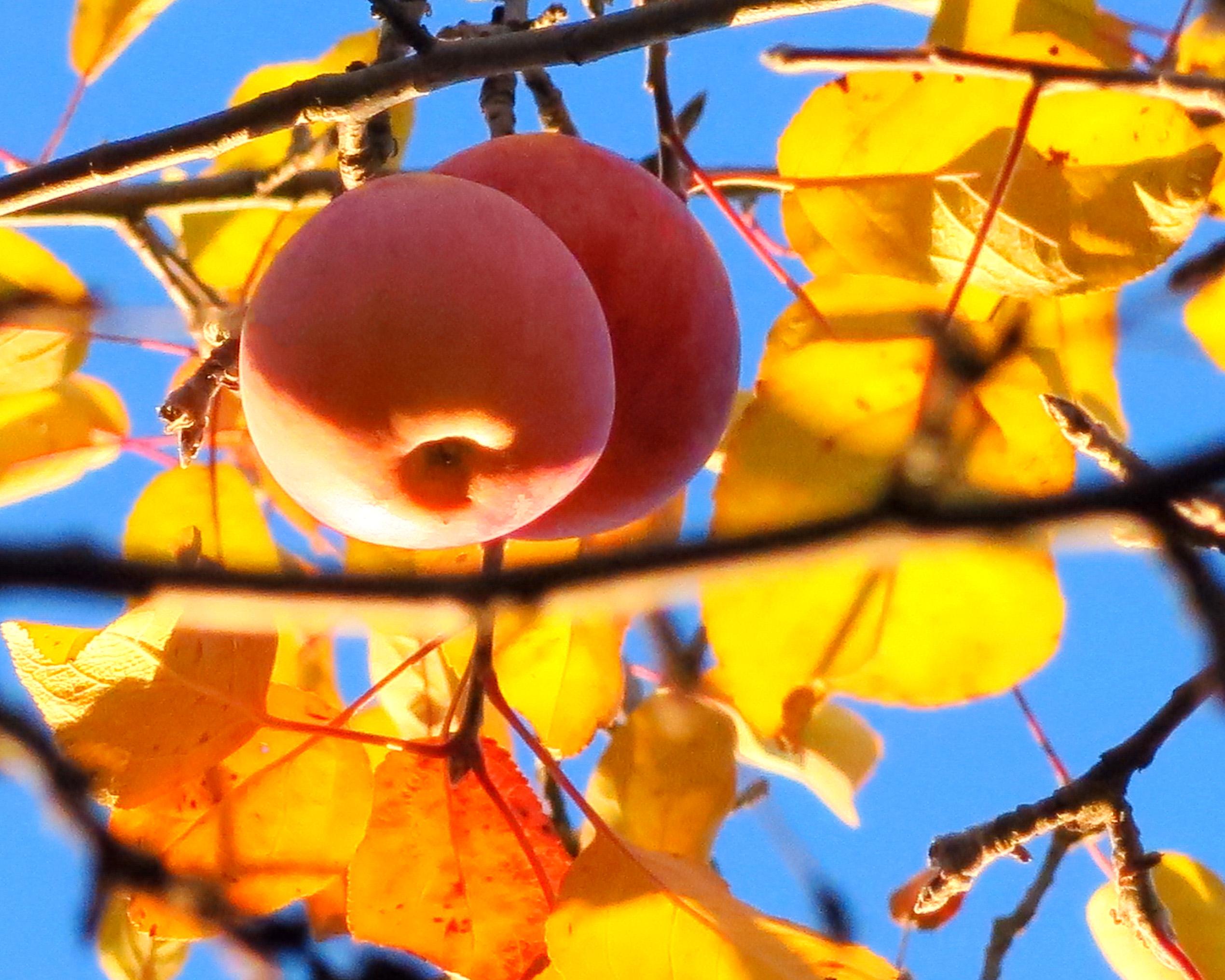 autumn-apples-img_5420