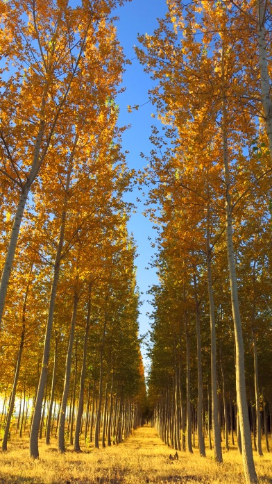 umatilla-trees-vertical-img_4858