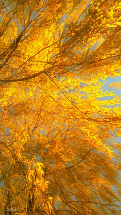 willow-aged-yellow-autumn-ch-img_5602