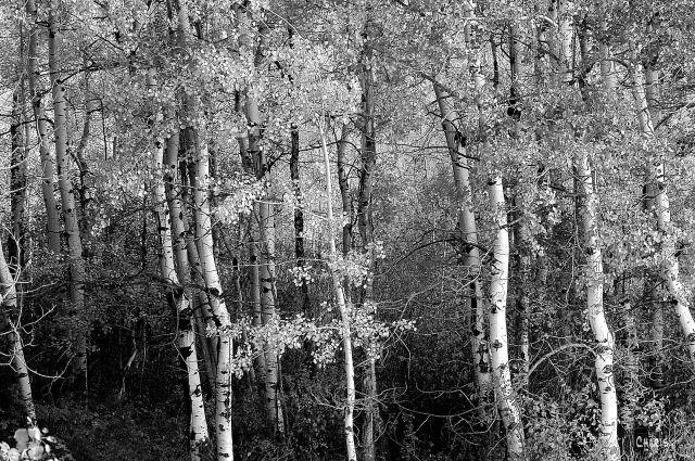 aspens-autumn-bw-dsc_0030