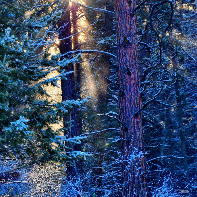 rays-snow-forest-ch-dsc_0372