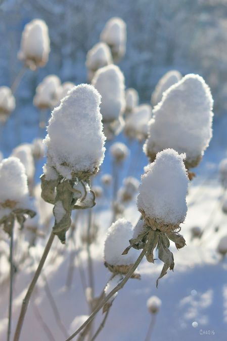 snow-balls-on-weeds-ch-img_5971