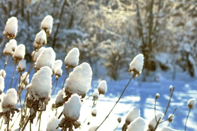 snow-weeds-ch-rs-img_5972