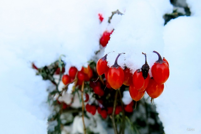 berry-bush-winter-ch-img_6151_edited-1