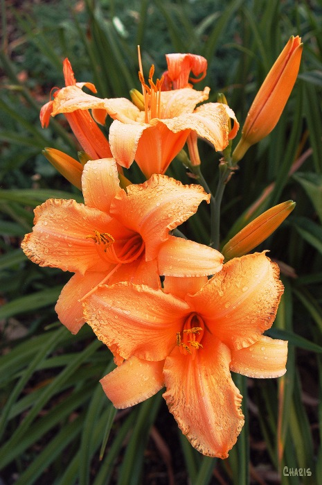day-lilies-orange-flowers-ch