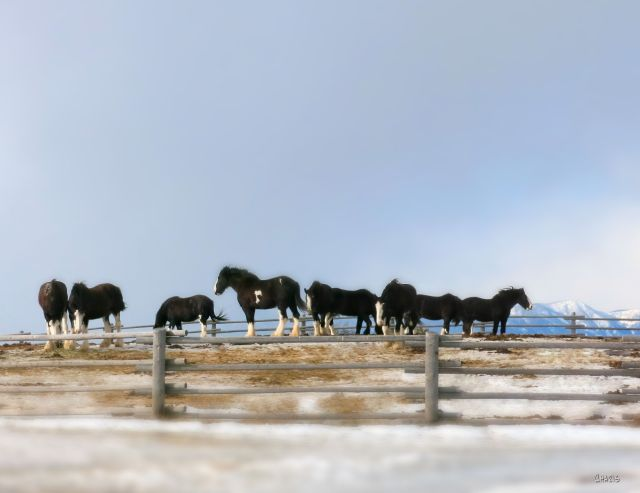 horses-fort-steele-winter-wiind-ch-img_0298_tilt