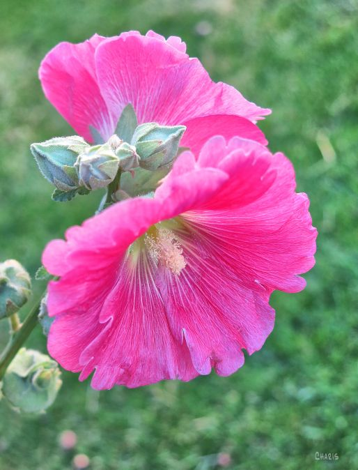 pink-hollyhock-ch-rs-img_0064