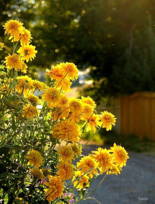yellow-flowers-alley-ch-rs-img_0056