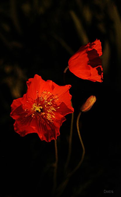 2-red-poppies-ch-rs-dsc_0157