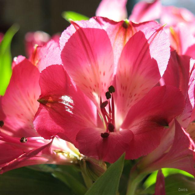 pink-flower-valentine-stamen-ch-rs-img_6858