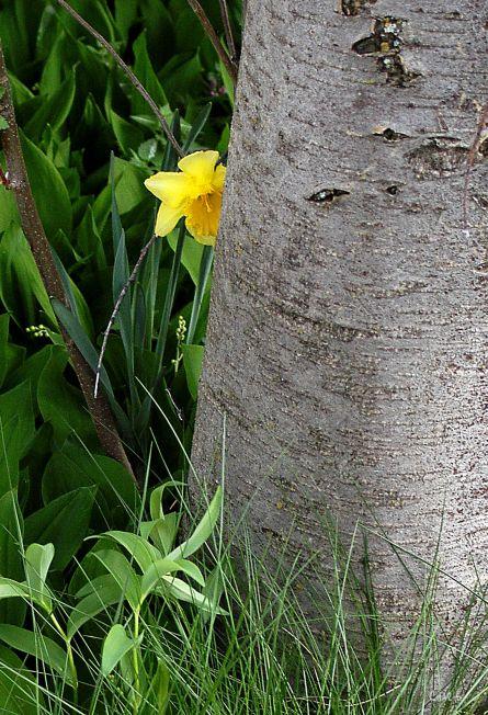 daffodil hiding ch DSC_0124