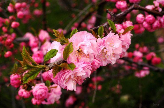 Flowering almond 2 DSC_0002