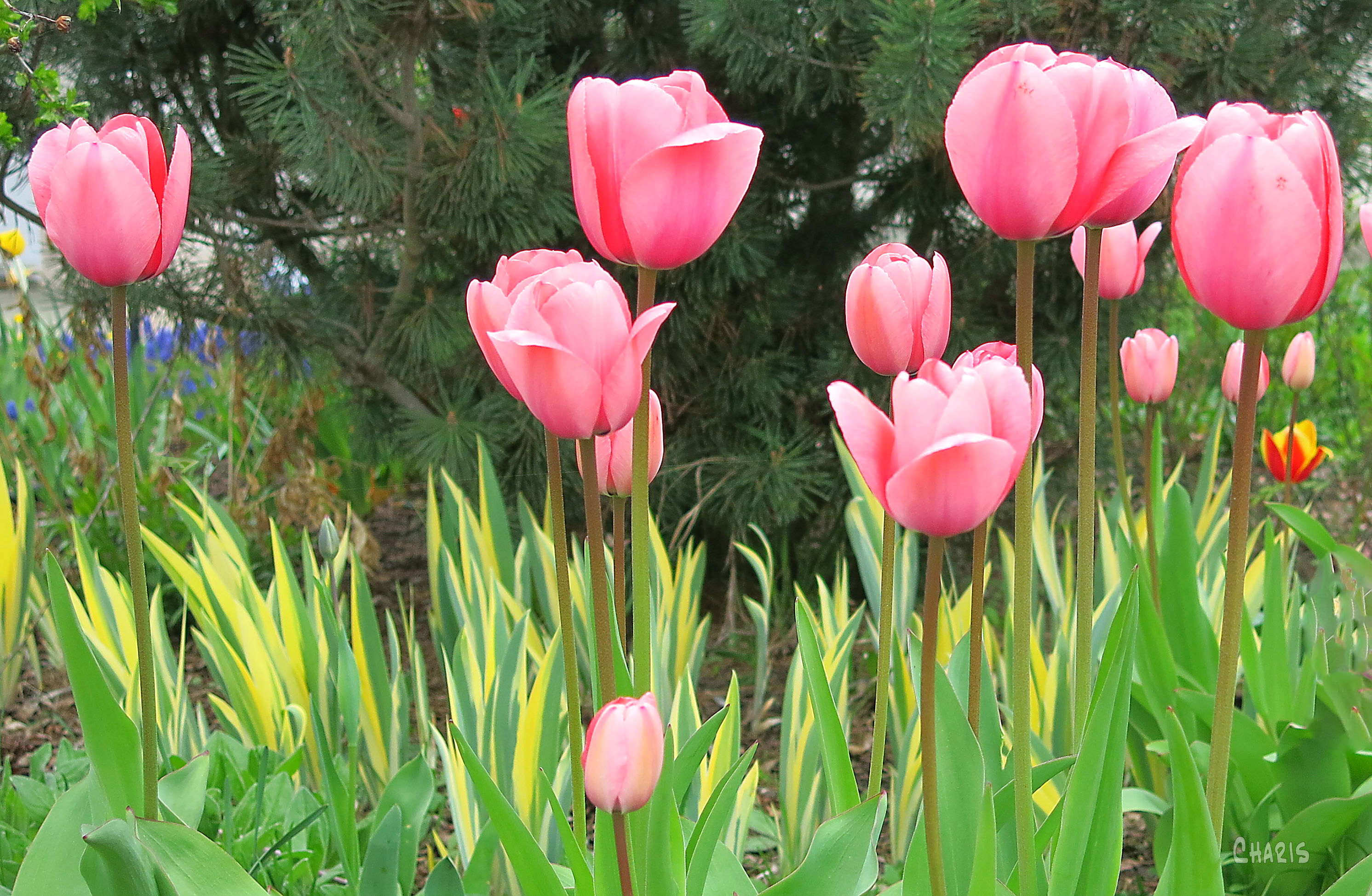 pink tulips ch IMG_7585