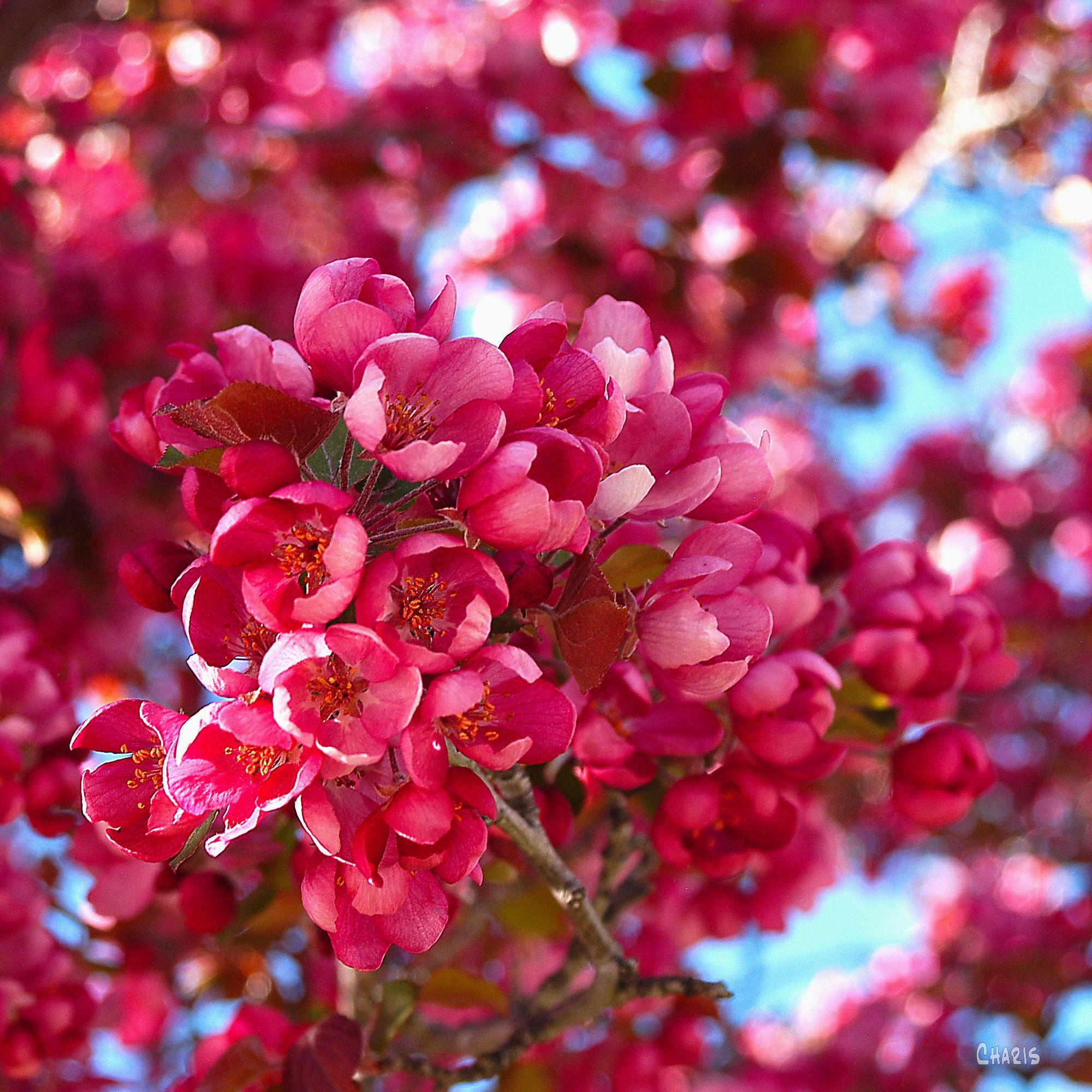 plum blossom ch sq DSC_0026 (1)