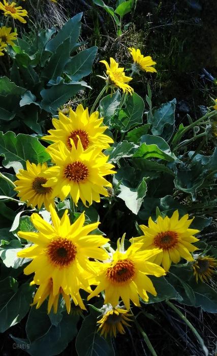 sunflower contrast kelowna ch IMG_7471